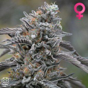 Humboldt Seed Organisation – Black D.O.G.