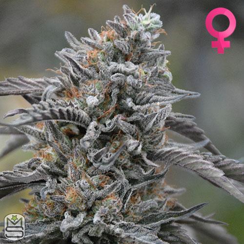 Humboldt Seed Organisation - Black D.O.G.
