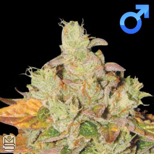 Lady Sativa Genetics - Original Diesel v3 Haze