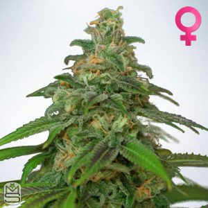 Ministry Of Cannabis – Auto Mandarin Haze