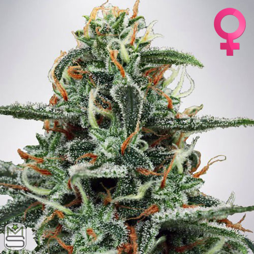 Ministry Of Cannabis - White Widow