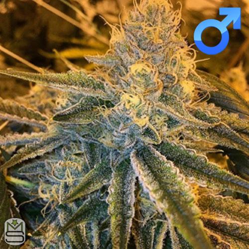 Seed Junky Genetics - Triangle Kush BX1