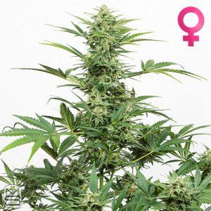 Dinafem Seeds – Industrial Plant Auto CBD