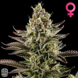 Dinafem Seeds – White Widow