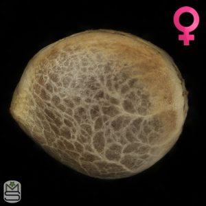 Humboldt Seed Organisation – Purple Matcha