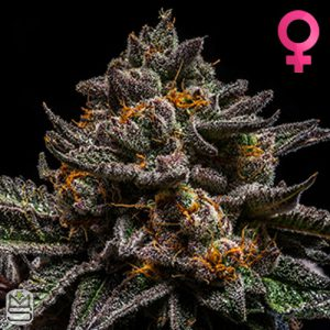 Ripper Seeds – Brain Cake