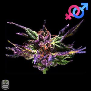 GrandDaddy Purple Seeds – Original GrandDaddy Purp