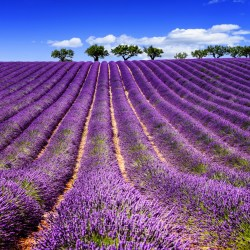 MandA Tours European Motorhome Tour: Picturesque Provence: Lavender fields
