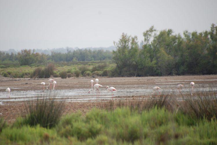 Flamingos, horses and bulls in Camargue