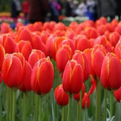 Escorted Motorhome Tour Springtime in Holland red tulips at Keukenhof gardens