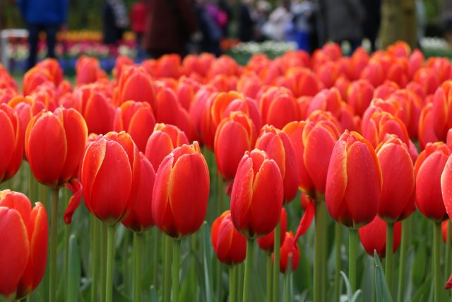 Escorted Motorhome Tour Springtime in Holland red tulips at Keukenhof gardens