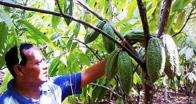 Kakao varietas Jatirenggo ditanam di antara phon karet di kawasan Simaninggir, Siabu