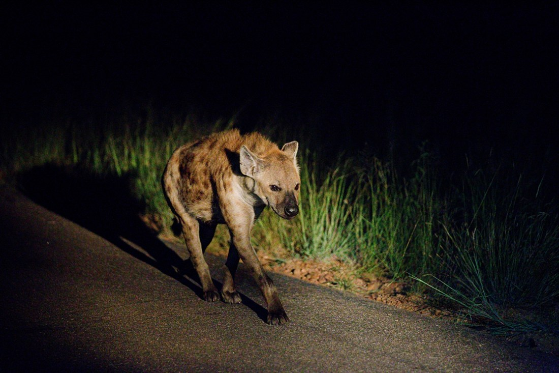 night safari at Kruger national park
