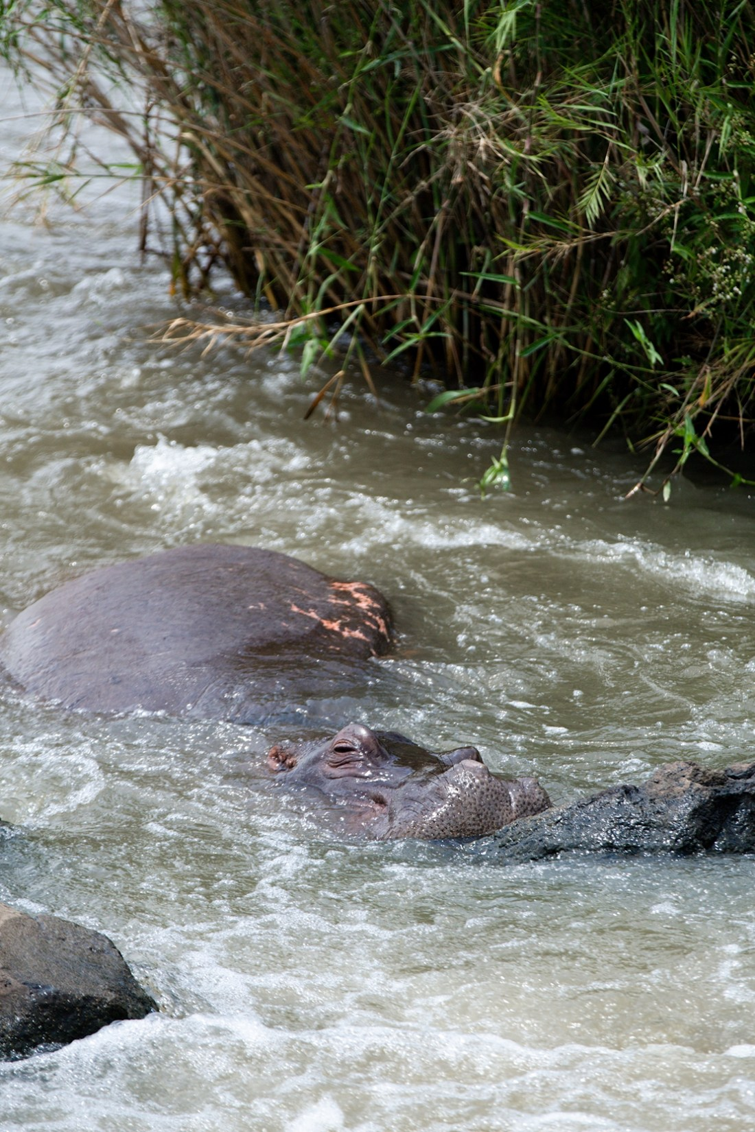 hippo in river at Kruger national park