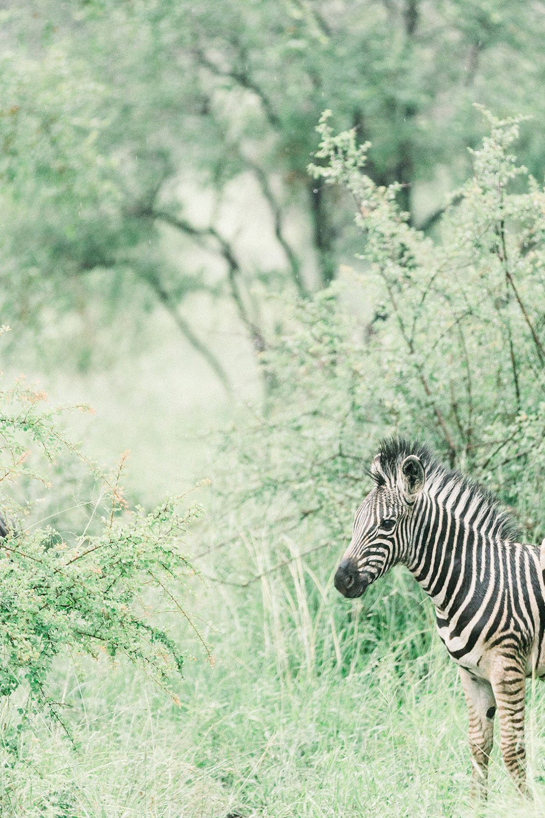 zebras at Kruger national park
