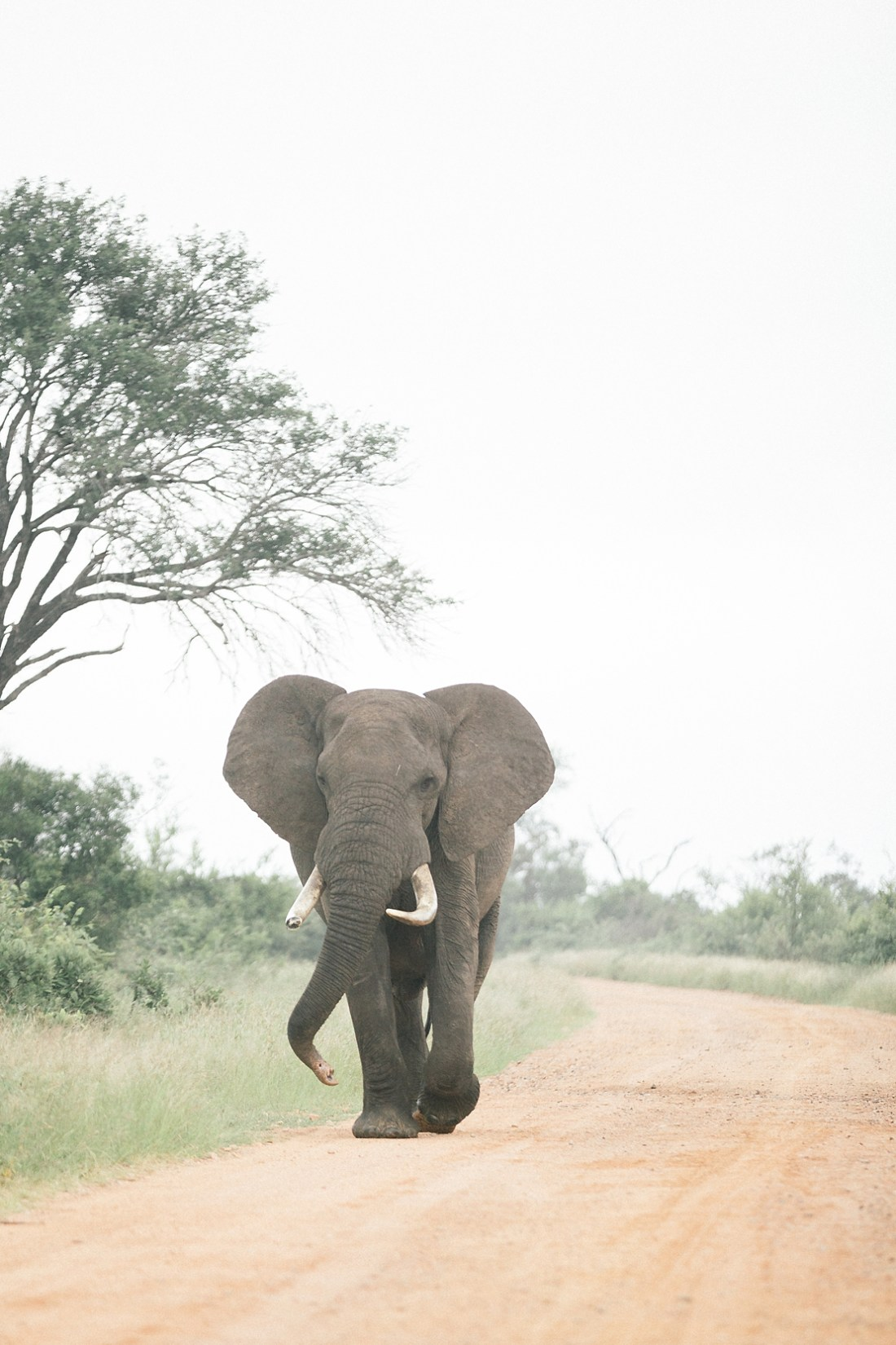 Bull elephant in Kruger national park