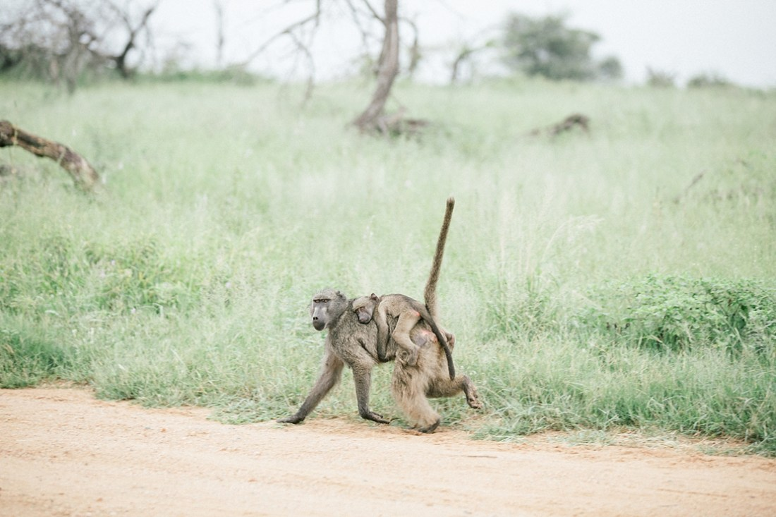 monkey carrying baby on back Kruger national park