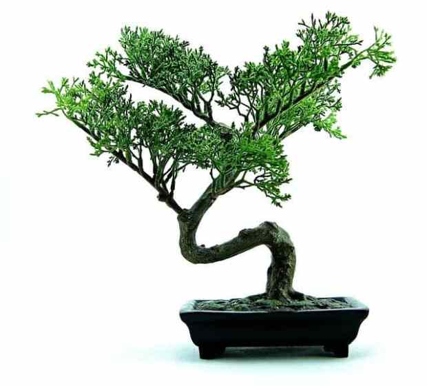 bonsai training