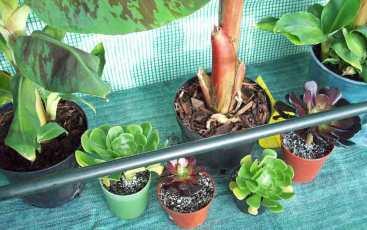 Aeonium cuttings