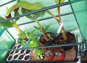 Bananas and Aeoniums on BioGreen heat mat