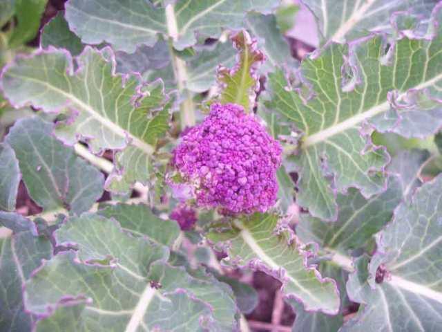 Broccoli Rudolph