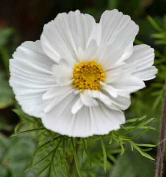 White variant of Cosmos Cupcakes