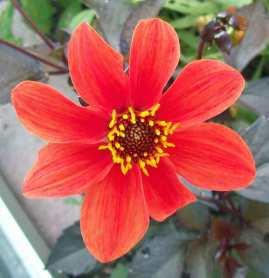 Dahlia Bishops Children orange form