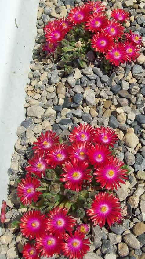 Alpine Delosperma Jewel of the Desert Garnet