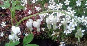 Lamprocapnos alba (white bleeding heart)
