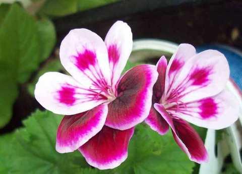 Scented geranium Angel's Perfume