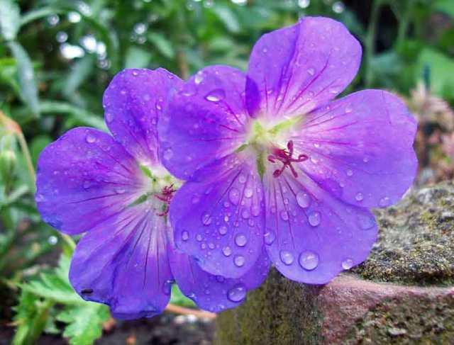 RHS Plant of the Century, geranium Rozanne