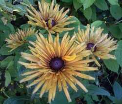 Golden Rudbeckia