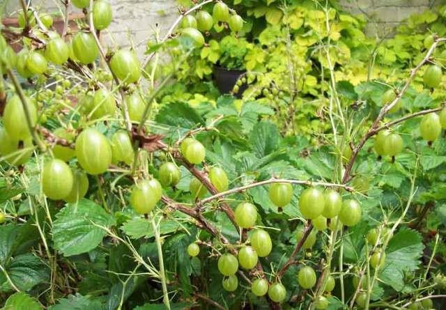 Loads of gooseberries