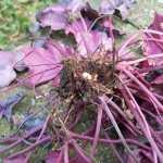 Vine weevils