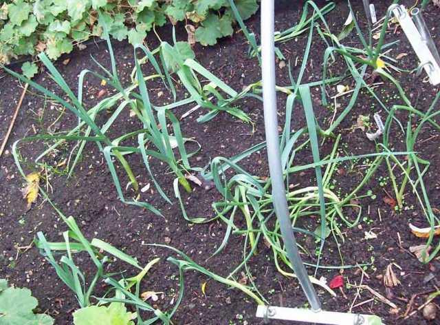 Baby leeks and Welsh onion Ciboule