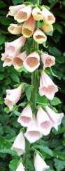 Pale apricot foxglove