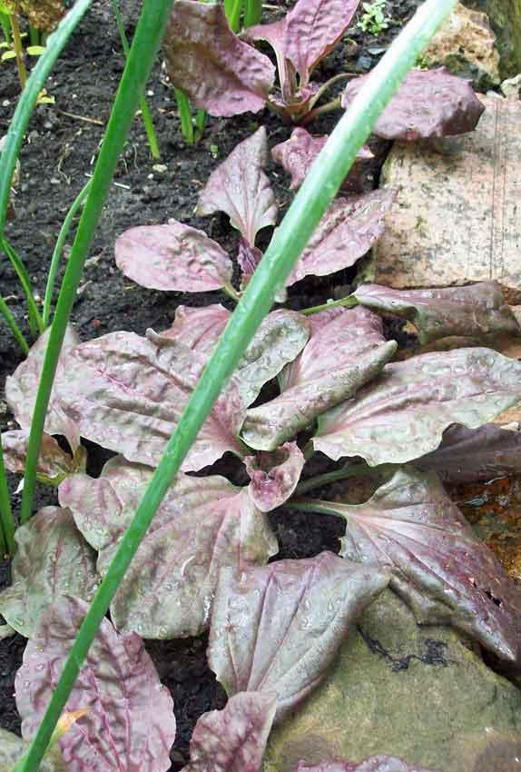 Plantago major rubrifolia (giant purple plantain)