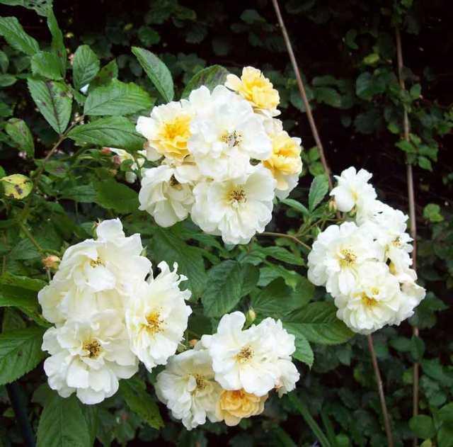 Unnamed rambling rose that's taken up residence