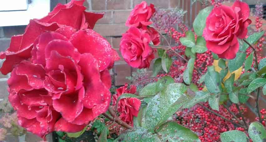 Ancient red floribunda