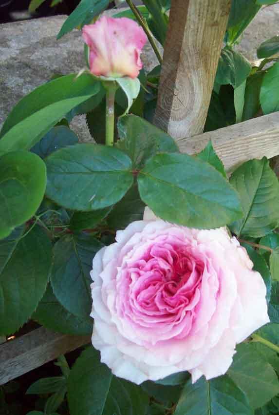 Beautiful climbing rose James Galway