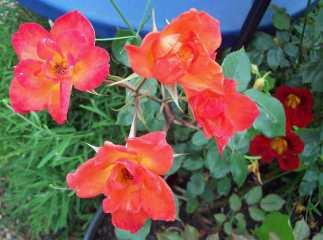 Rose 'Harlequin'