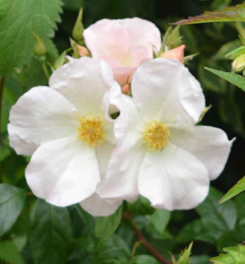 Unknown but lovely single floribunda