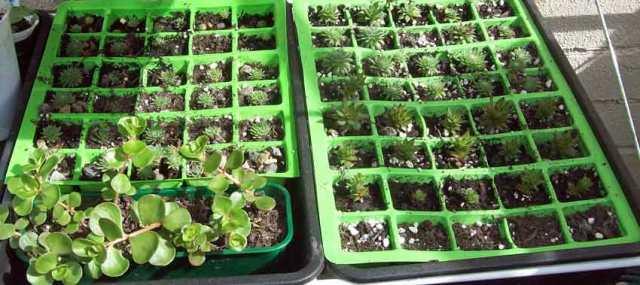 Sedum and Sempervivum cuttings in April 2016