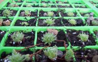 Sempervivum cuttings