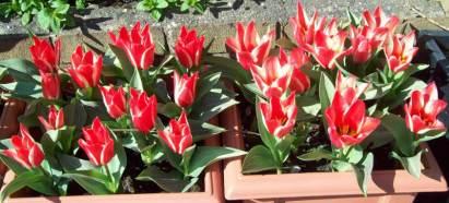 Tulip Pinocchio