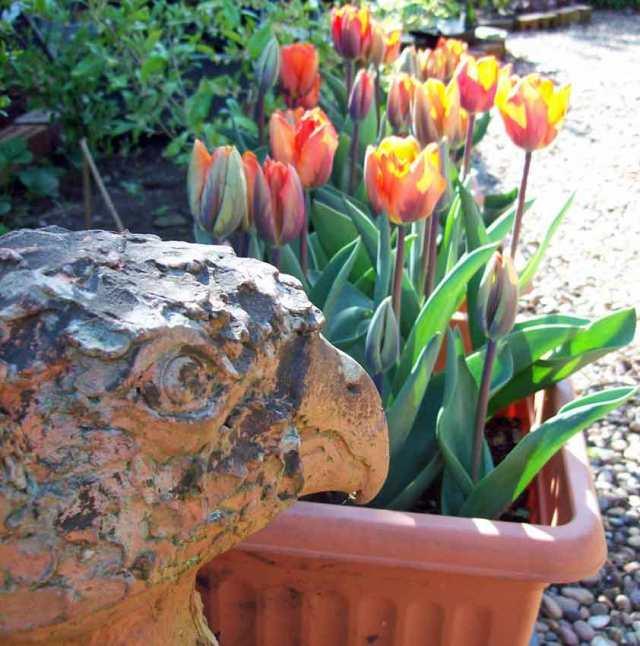 Tulip Princes Irene