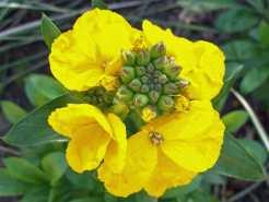 Wallflower Cloth of Gold