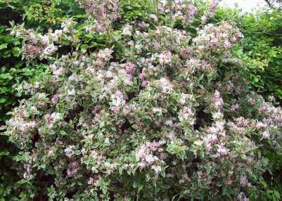 Weigela variegata