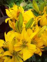 Asiatic yellow Bouquet lilies in pots