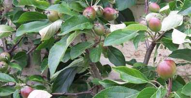 Red Falstaff apple